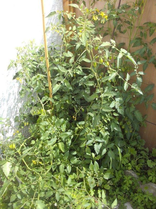 Le pied de tomates cerises - Planter des tomates cerises ...